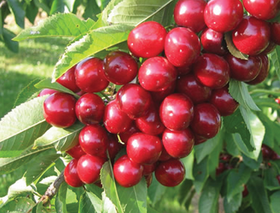 Currant Bushes For Sale