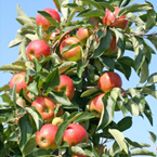 Apple Trees - M9 Rootstock